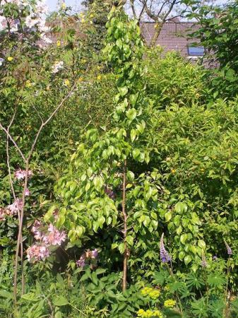 blaasjes perenboom
