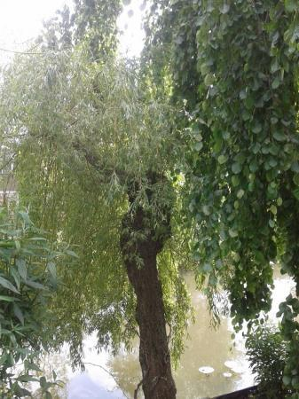 Grote tak verwijderen treurwilg