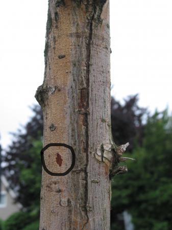 Schietwilg (Salix Alba) - bomen dood ?