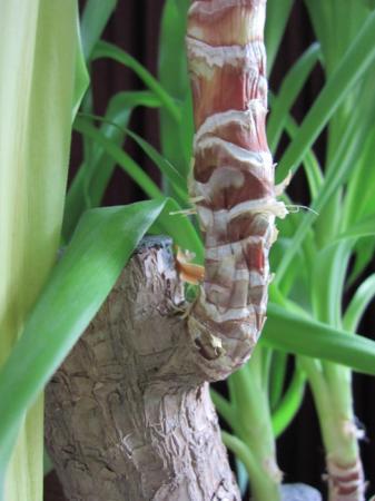 Yucca ziet er ziek uit + schimmel?