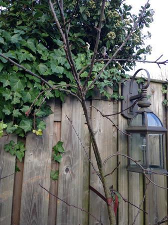 Kreupelen appelboom snoeien
