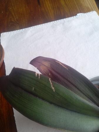 Phalaenopsis die al jaren lang geen bloemen geeft
