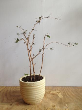 Welke kamerplant is dit?