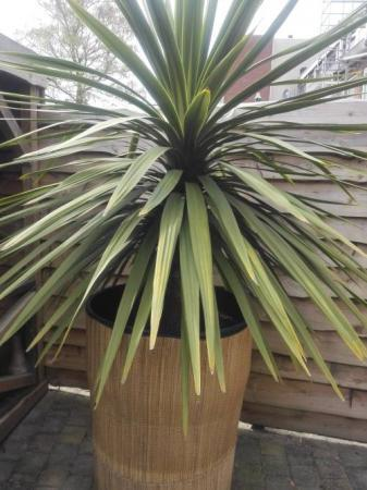 Cordyline australis Green.