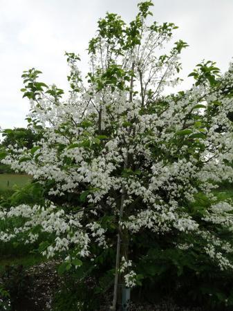 van meerstammige Halesia naar boom