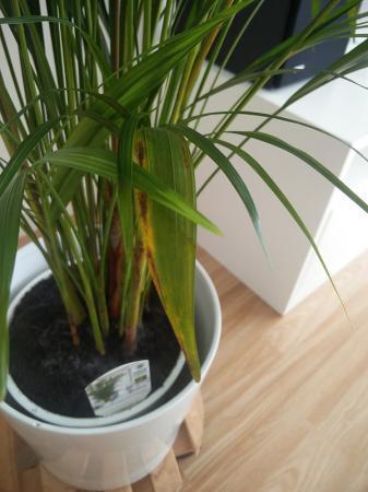 Welk ziekte heeft deze areca chrysalidocarpus?
