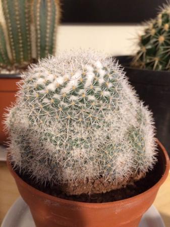 Welke soort cactus is dit?