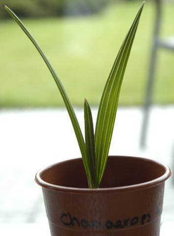 aankoop palmen en musa basjoo
