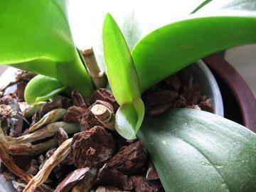 Ik denk 2 Keiki's aan Phalaenopsis hoi !