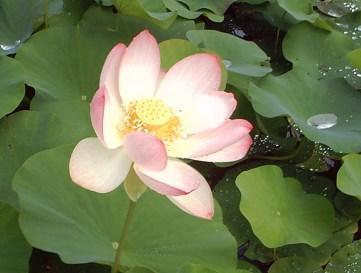 lotus en waterlelie