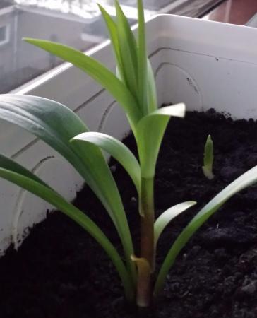 Jonge palm stekjes