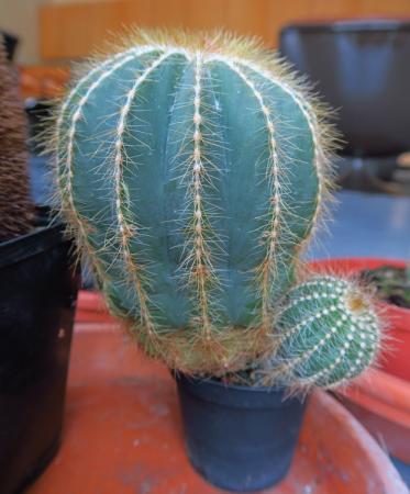 Welke cactussen zijn dit?