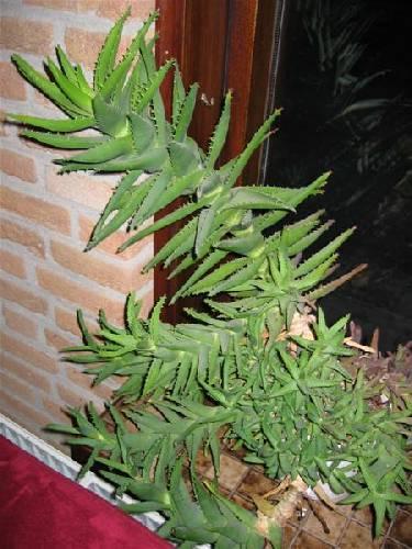 Welk soort Aloe plant?