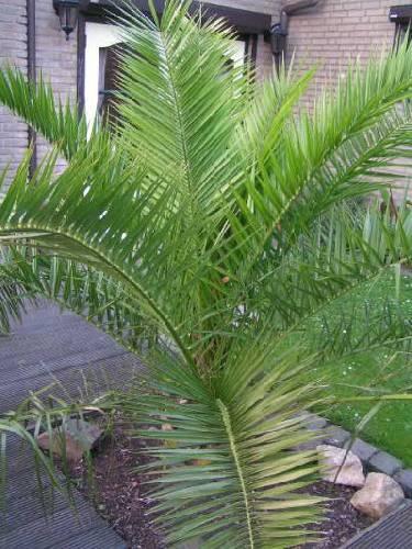 Phoenix canariensis groeit traag