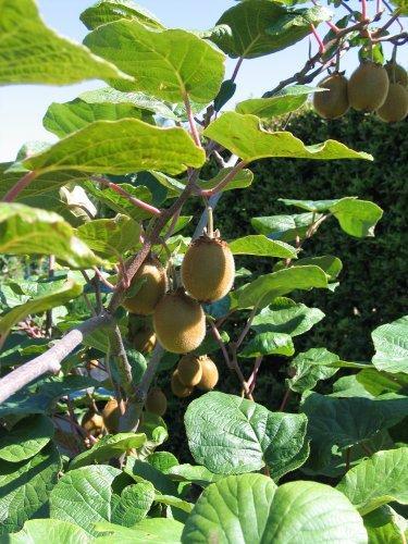 zaaien van een kiwiplant in nederland
