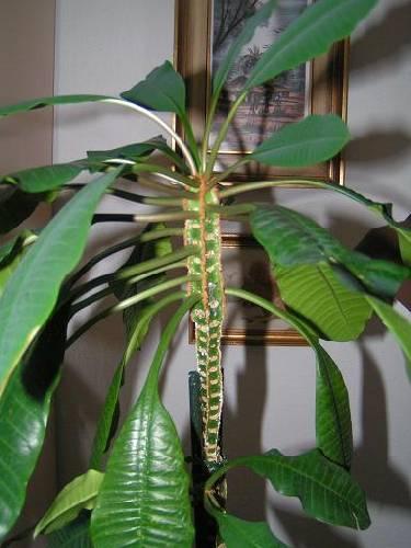 Wie herkent deze vetplant/cactus ?