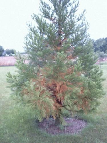 bruine sequoia