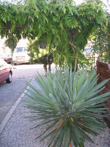 Yucca late bloei?