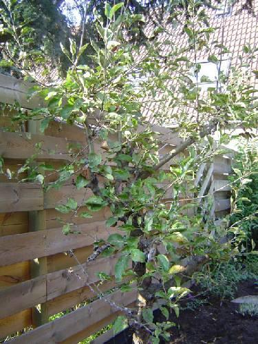 Zieke appelboom