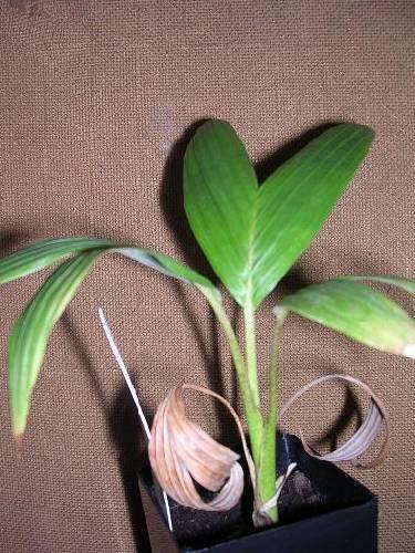 Archonta phoenix alexandrea (palm)