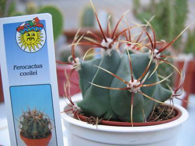 Kleurige Ferocactus