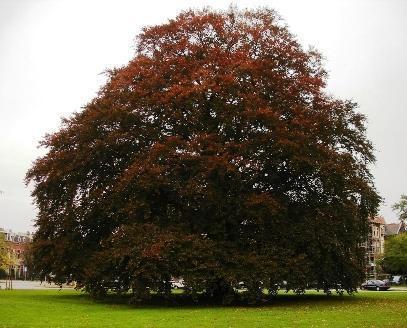 verplaatsen beuk, nieuwe boom planten