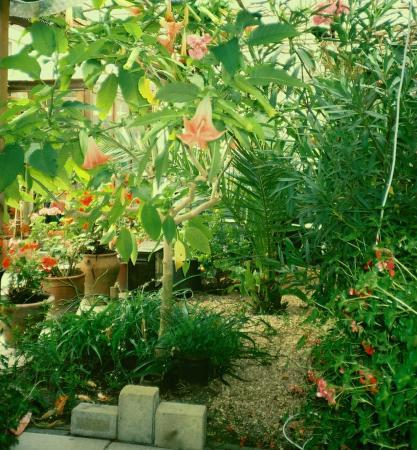 brugmansia volle grond