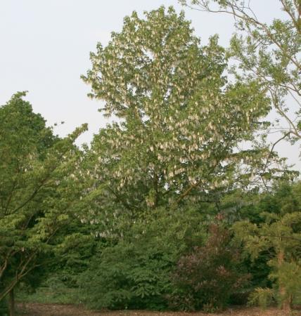 Davidia involucrata-vaantjesboom