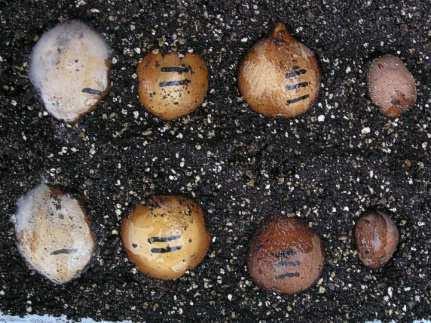 10) Cycas revoluta