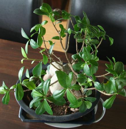 Ficus met verschrompelde blaadjes, vreemd