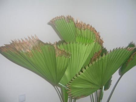 waaiervormige palm met bruinen bladeren