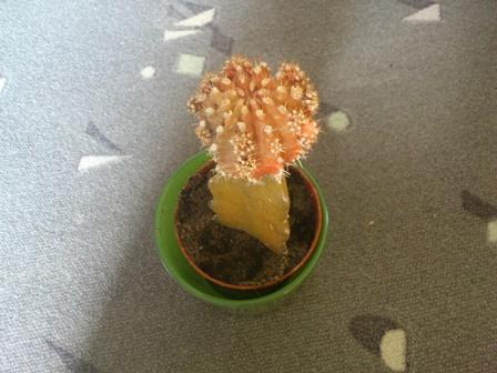 Cactus word bruinig