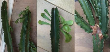 Welke cactus (of euphorbia?) is dit?