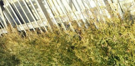 Gaan de coniferen dood?