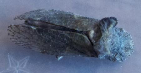 vreemd insect met oortjes