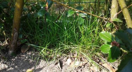 hardnekkige grassen onder haag