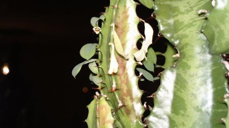 Mijn Euphorbia Trigona.