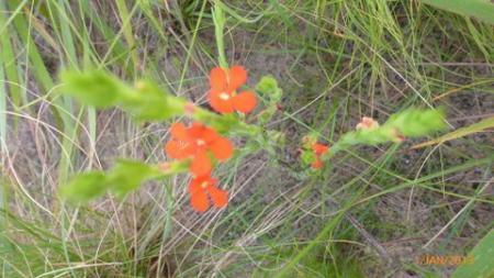 kleine rode bloem
