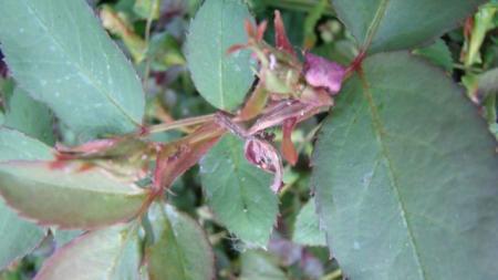 afvallen rozenknoppen