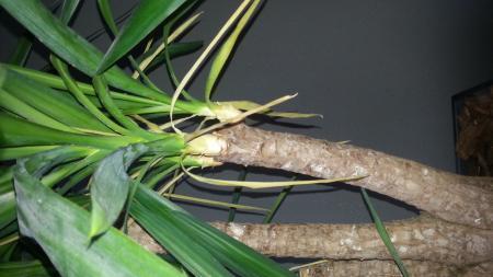 help! yucca krijgt steeds meer geel/bruin blad