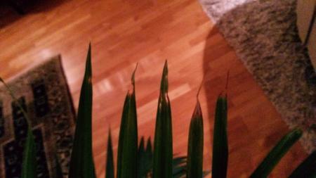 50 jaar oude Kentia-palm gaat nog steeds niet goed