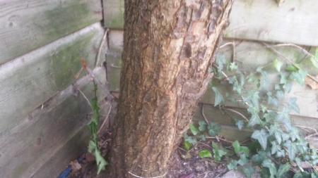 Beschadigde stam prunus nigra.