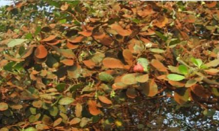 cashew noten boom plantjes