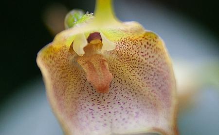Masdevallia in bloei