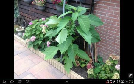 Wie weet welke plant dit is.