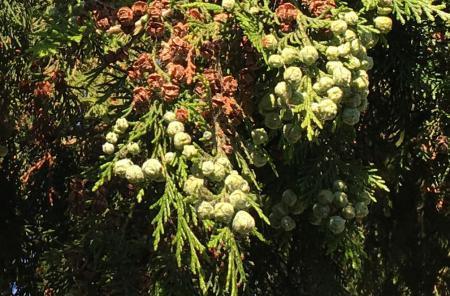 Welke boom en hoe oud ongeveer?