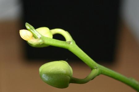 Phaelanopsis te droog?????
