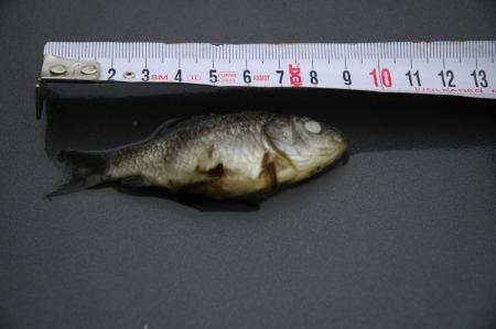 Dode kleine visjes in grote vijver