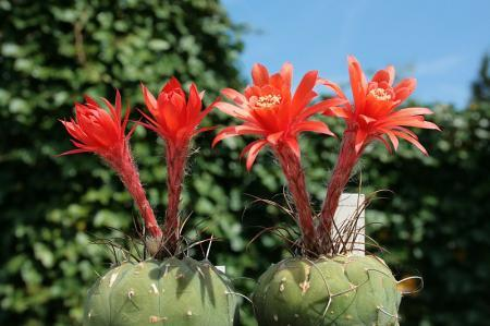 Matucana een beetje in bloei