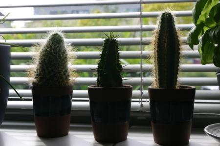 Welke cactussen?